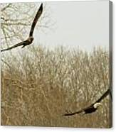 Adult And Immature Bald Eagle Flying Canvas Print