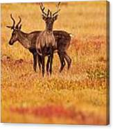 Adult Caribou In The Fall Colours Canvas Print