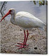 Adult White Ibis Canvas Print