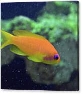 African Anthias Canvas Print