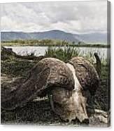 African Cape Buffalo Skull, Ngorongoro Canvas Print