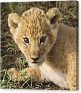 African Lion Panthera Leo Five Week Old Canvas Print
