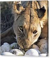 African Lion Panthera Leo Raiding Canvas Print