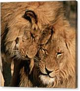 African Lion Panthera Leo Two Males, Mt Canvas Print