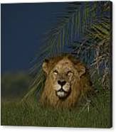 African Lion Resting Near A Palm Canvas Print