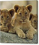 African Lion Three Cubs Resting Canvas Print