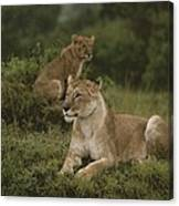 African Lionesses In Masai Mara Canvas Print