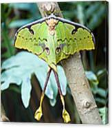 African Moon Moth 1 Canvas Print
