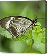 African Papilio Dardanus Butterfly Canvas Print