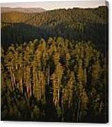 Afternoon Sunlight Bathes Redwood Trees Canvas Print