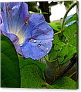 Aging Morning Glory Canvas Print