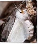 Agreeable Tiger Moth With Ant Canvas Print