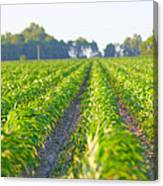 Agriculture- Corn 1 Canvas Print