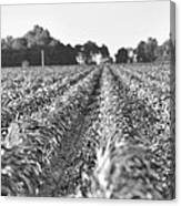 Agriculture- Corn 2 Canvas Print