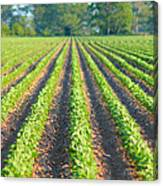 Agriculture-soybeans 5 Canvas Print