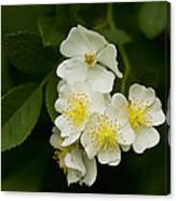 Alabama Wildflower Roses - Rosa Multiflora Canvas Print