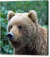 Alaskan Brown Bear Canvas Print