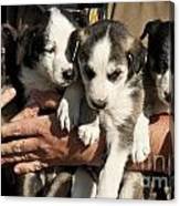 Alaskan Huskey Puppies Canvas Print