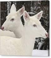 Albino White Tailed Deers Canvas Print