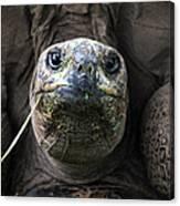 Aldabra Tortoise Canvas Print