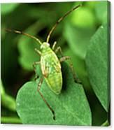 Alfalfa Plant Bug Canvas Print