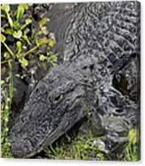 Alligator Alley Friend  Canvas Print