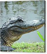 Alligator Cameron Prairie Nwr La Canvas Print