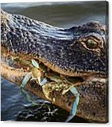 Alligator Catches Two Crabs Canvas Print