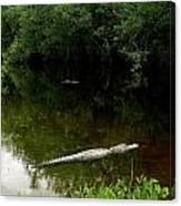 Alligators In The Evergaldes Canvas Print
