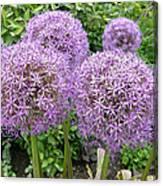 Allium Flower (allium Sp.) Canvas Print