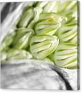 Allium Canvas Print