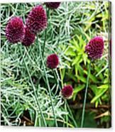 Allium Sphaerocephalum Flowers Canvas Print