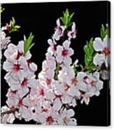 Almond Blossom 0979 Canvas Print