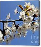 Almond Tree In Flower At Spring Canvas Print