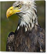 Almost There - Bald Eagle Canvas Print