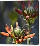 Aloe Vera Blossoms  Canvas Print
