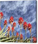Aloes South Africa Canvas Print