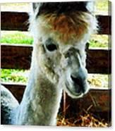 Alpaca Closeup Canvas Print