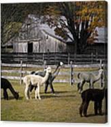 Alpacas In Vermont Canvas Print