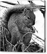 Alpha Squirrel  Canvas Print