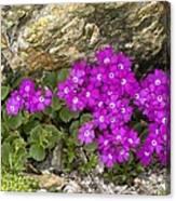 Alpine Primula (primula Hirsuta) Canvas Print