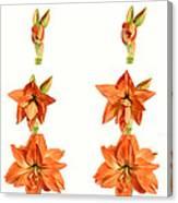 Amaryllis Blooming Canvas Print