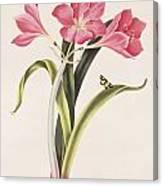 Amaryllis Purpurea Canvas Print