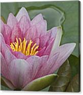Amazon Water Lily Victoria Amazonica Canvas Print