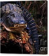 American Alligator On A Cypress Tree Canvas Print