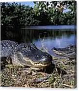 American Alligators Canvas Print