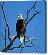 American Bald Eagle Haliaeetus Canvas Print