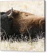 American Bison 2 Canvas Print