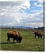 American Buffalo 10 Canvas Print