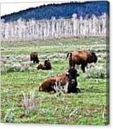American Buffalo 16 Canvas Print